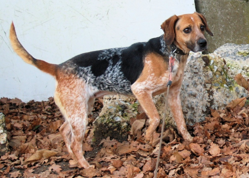 ZINA, croisée beagle de 4-5 ans - Romagné (35) Zina_510