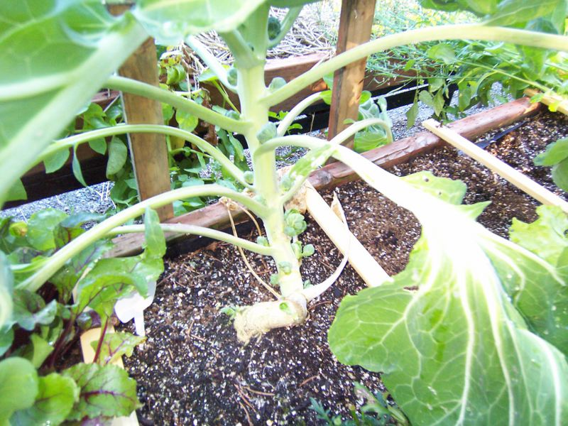 brussel - BS is for brussel sprouts - Page 2 100_2423