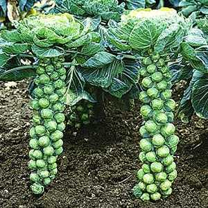 brussel - BS is for brussel sprouts Brusse10