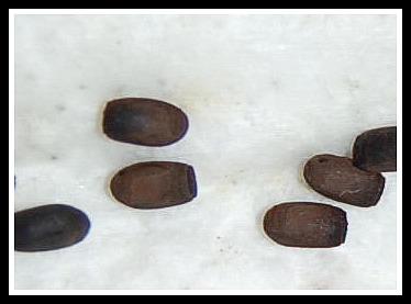 Fiche d'élevage Trachyaretaon brueckneri carmelae PSG n°255 Dsc_4213