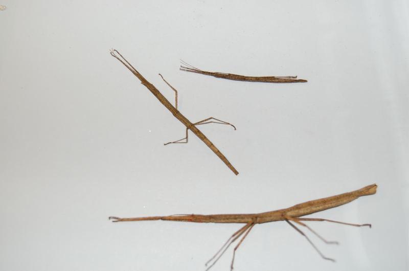 Fiche d'élevage Carausius morosus PSG n°1 Dsc_4221