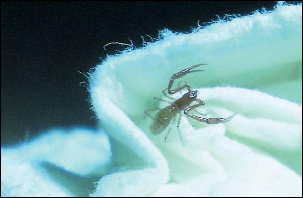 Neuenteckung in der Schweiz: Pseudoblothrus infernus Pseudo10