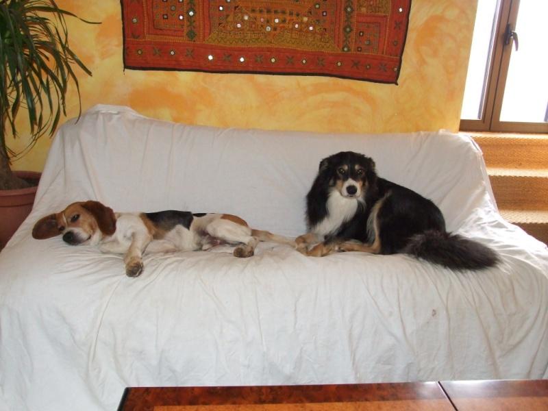CASTRO, adorable petit beagle de 6 ans (Tulle 19 ou Cahors 46) Castro10
