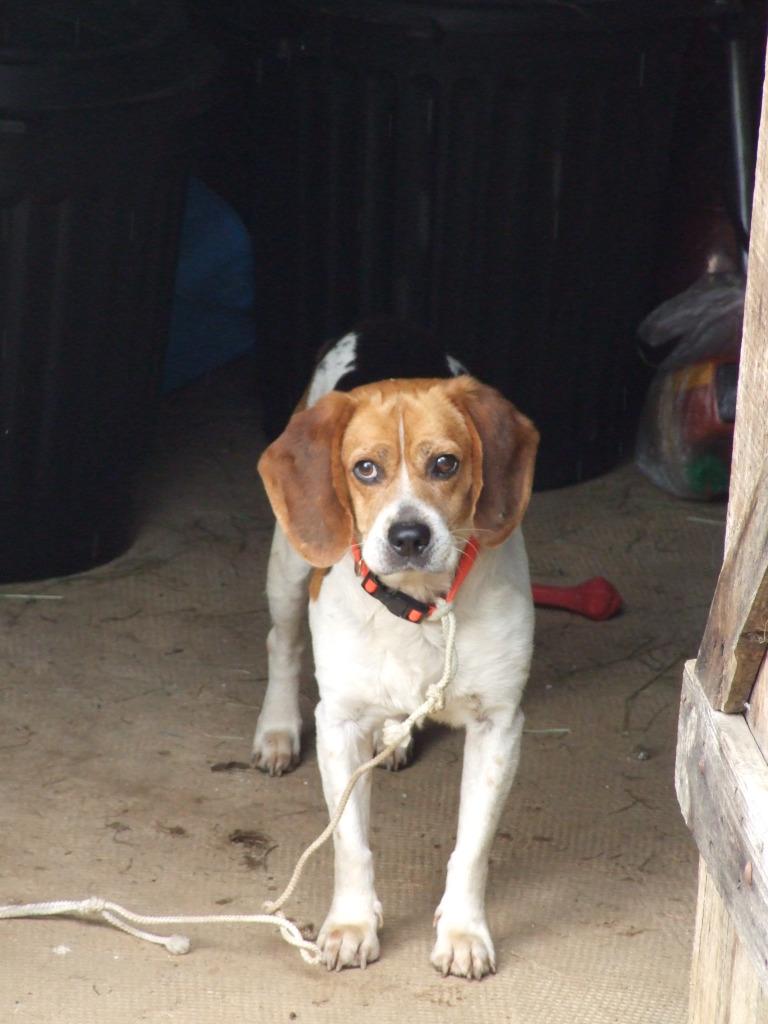 CASTRO, adorable petit beagle de 6 ans (Tulle 19 ou Cahors 46) Castro11