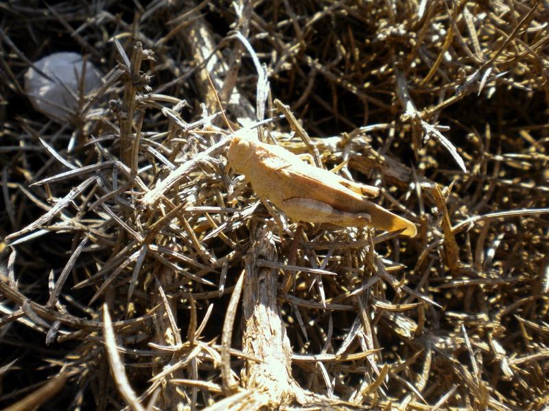 identification de sauterelles Lerove11