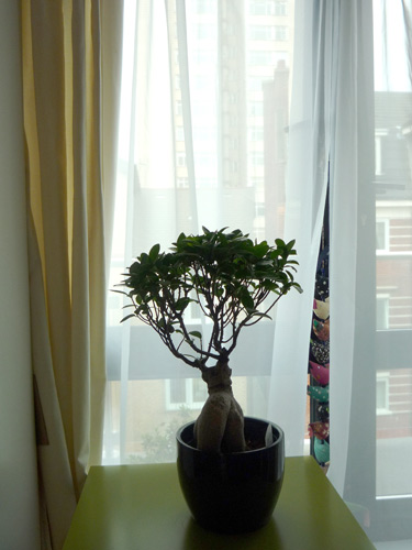 Ficus Ginseng has black dots and circle marks.. What shall I do? Ficus_15