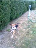EDOUARD, croisé beagle mâle, 9 mois (44) Edouar11