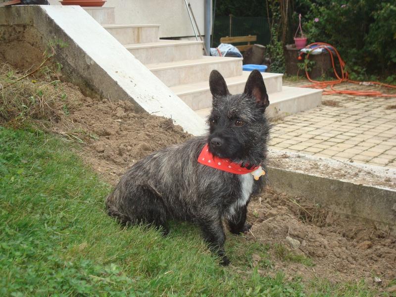 FUSCHIA type X cairn terrier de 2 ans bringée / NEED - Page 2 Dsc04616