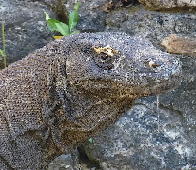 Varanus komodoensis ou le dragon de Komodo. P1020310