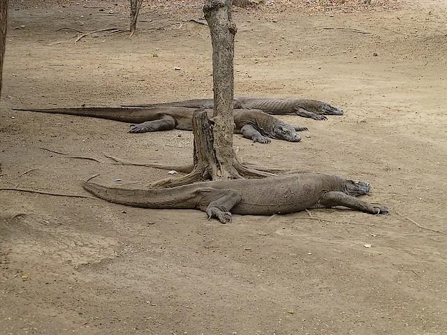 Varanus komodoensis ou le dragon de Komodo. P1020713
