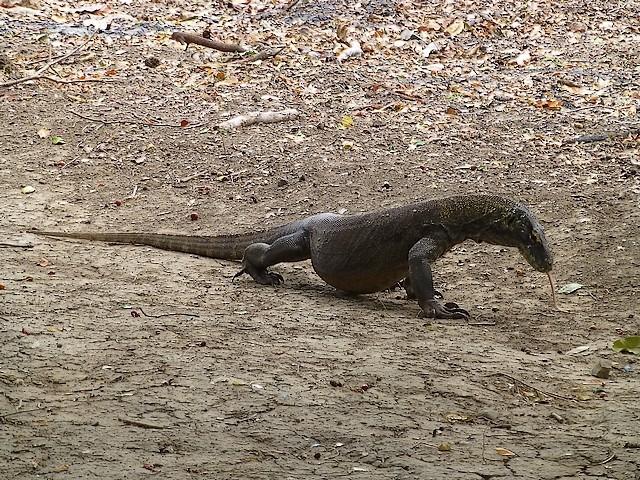 Varanus komodoensis ou le dragon de Komodo. P1020714
