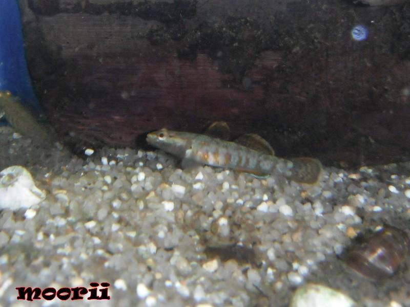 Rhinogobius zhoui : Gobie vermillon  1011