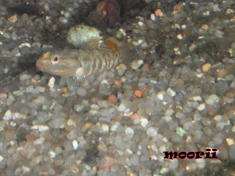 Rhinogobius zhoui : Gobie vermillon  1110