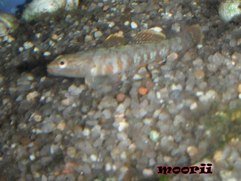 Rhinogobius zhoui : Gobie vermillon  1211