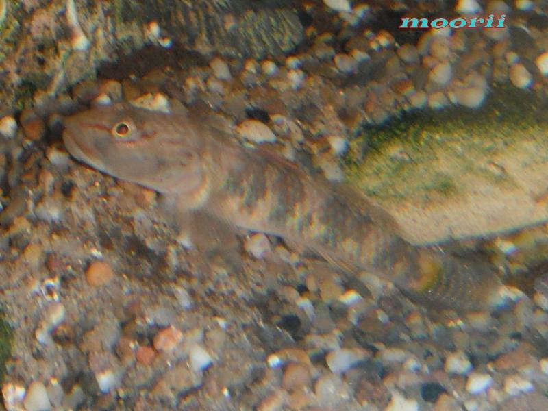Rhinogobius leavilii 1413