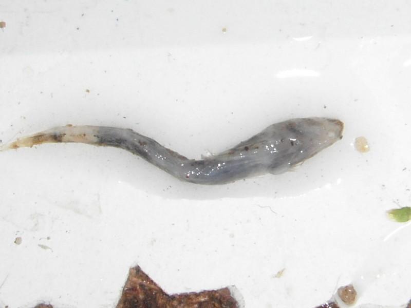 Schismatogobius cf ampluvinculus  2011
