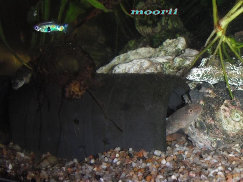 Rhinogobius leavilii 2314