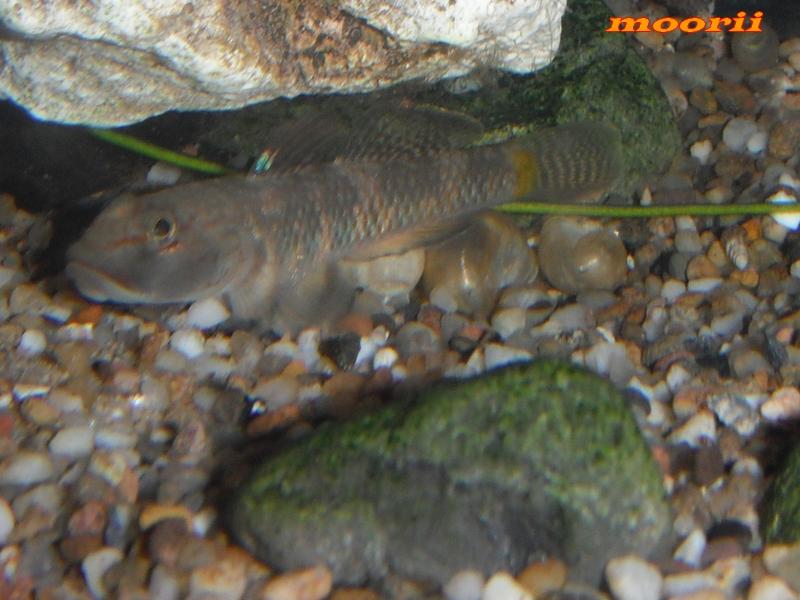 Rhinogobius leavilii 2413