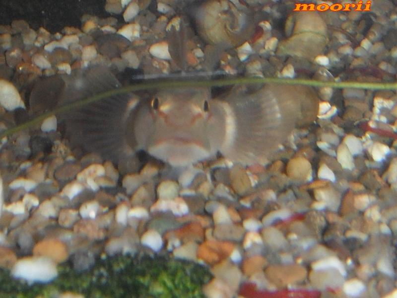 Rhinogobius leavilii 2612
