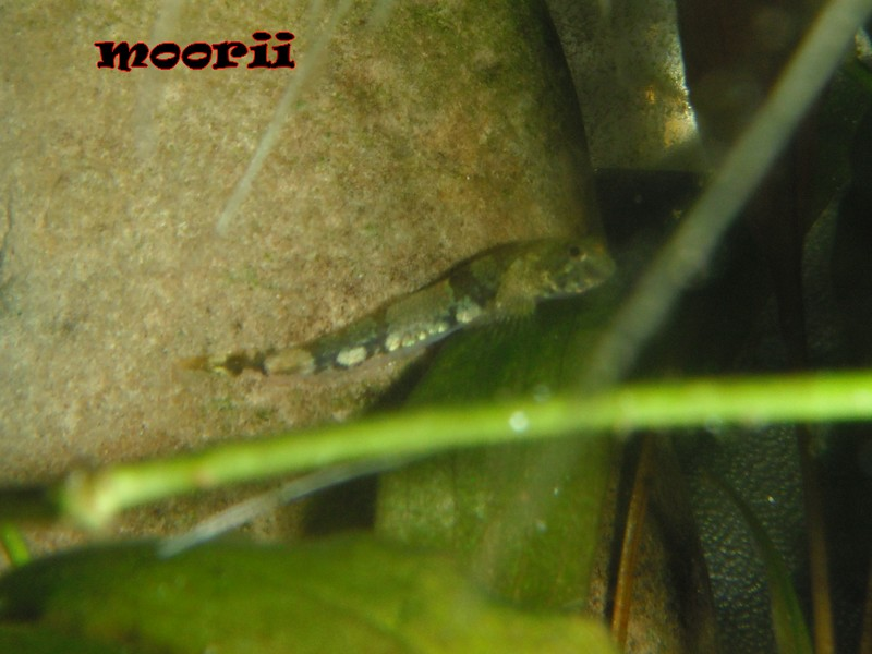 Schismatogobius cf ampluvinculus  2810