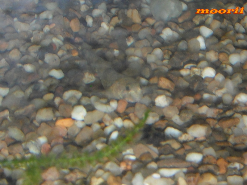 Schismatogobius risdawatiae 3511