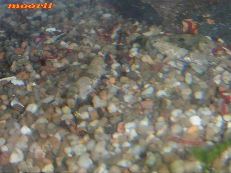 Schismatogobius risdawatiae 3811