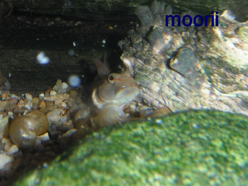Rhinogobius leavilii 518