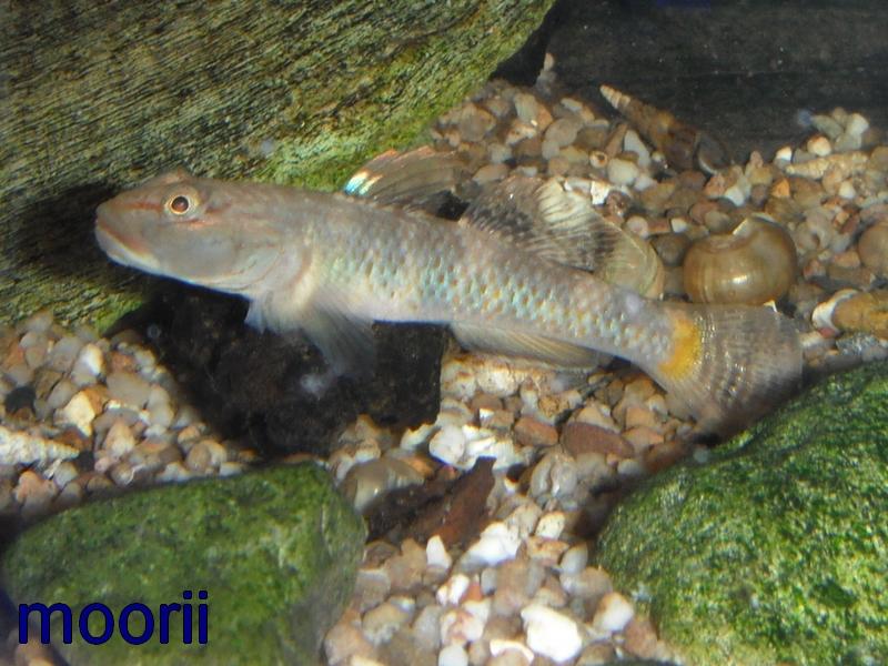 Rhinogobius leavilii Sans_t11