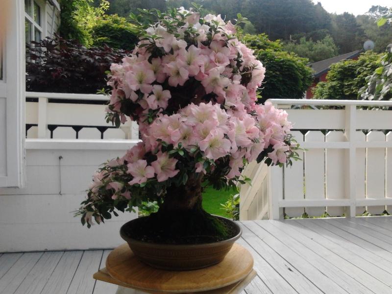before and after pruning satsuki gyoten Norway summer 2012 2012-029
