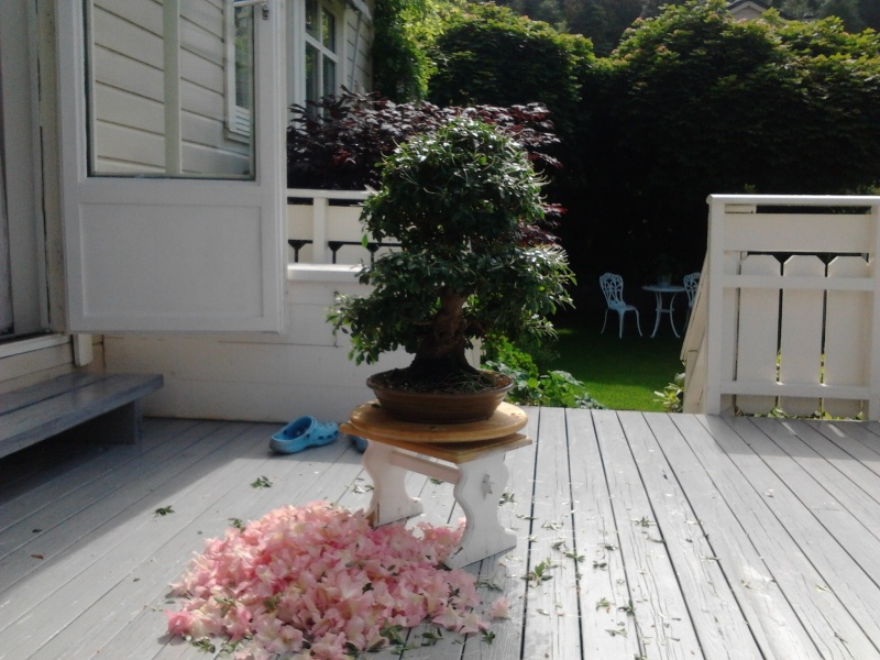 before and after pruning satsuki gyoten Norway summer 2012 2012-030