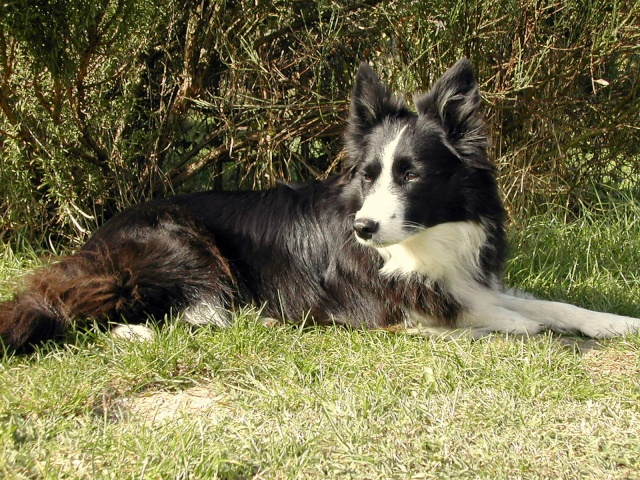 Quelqu'un a-t-il des chiens issus du Mont Kerchouan? - Page 2 Kika_c11