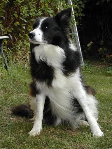 Quelqu'un a-t-il des chiens issus du Mont Kerchouan? - Page 2 Kika_s10