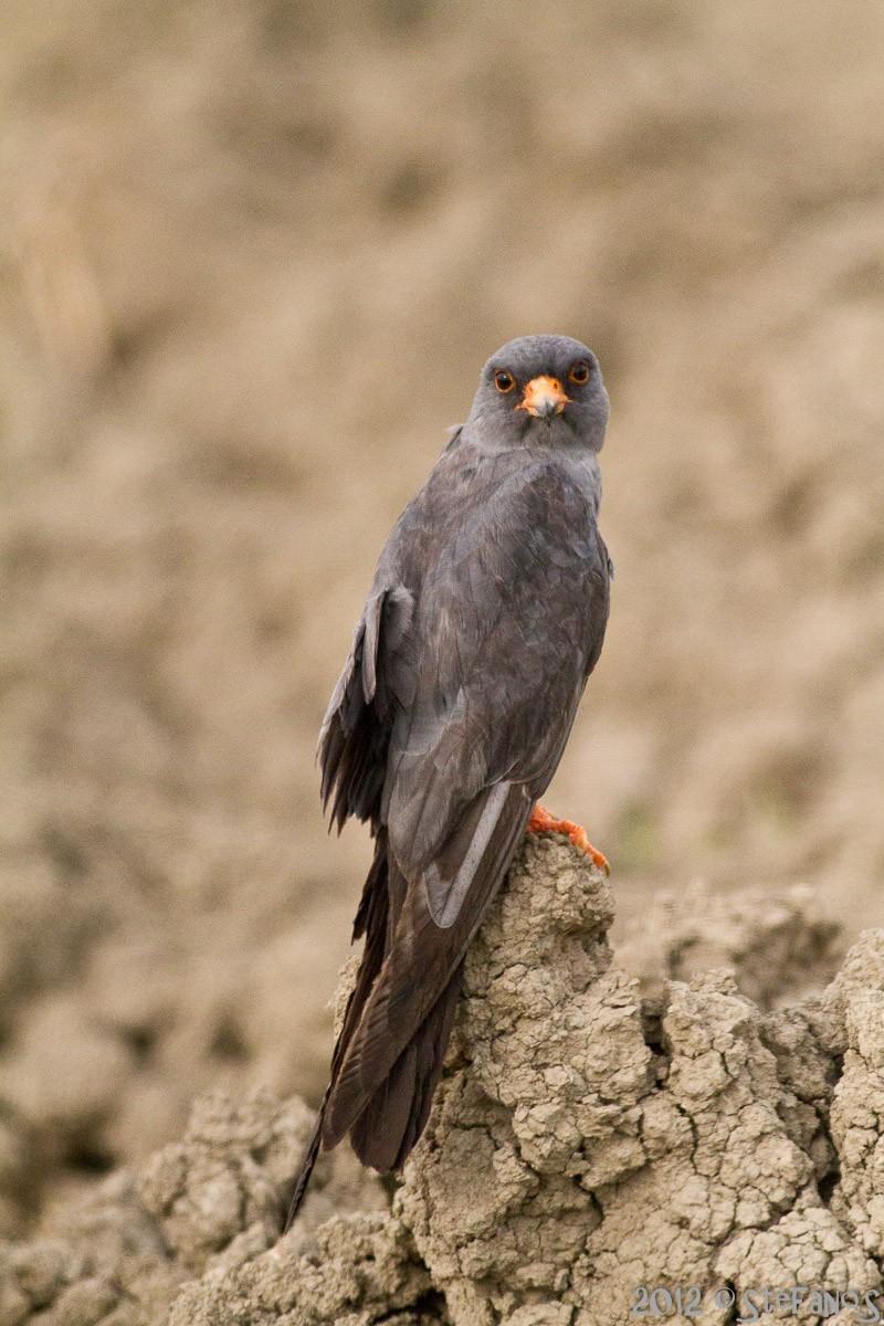 Falco cuculo maschio con ala rotta Img_0912