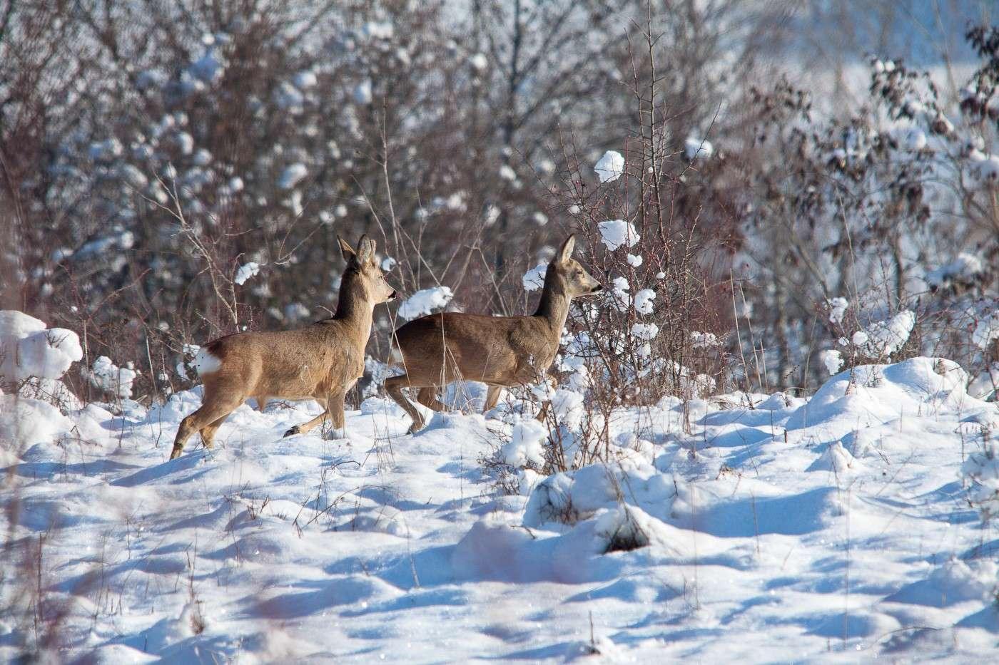 Coppia di caprioli nella neve Img_2012