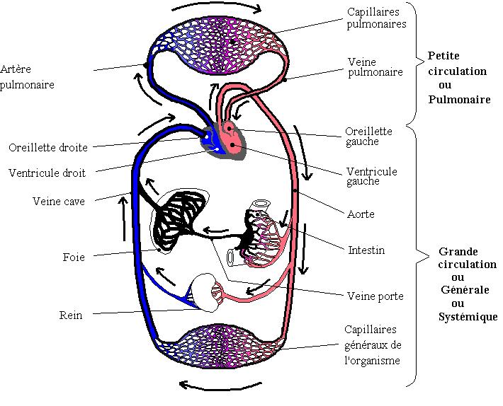 Les fonctions de nutrition animale Circul10