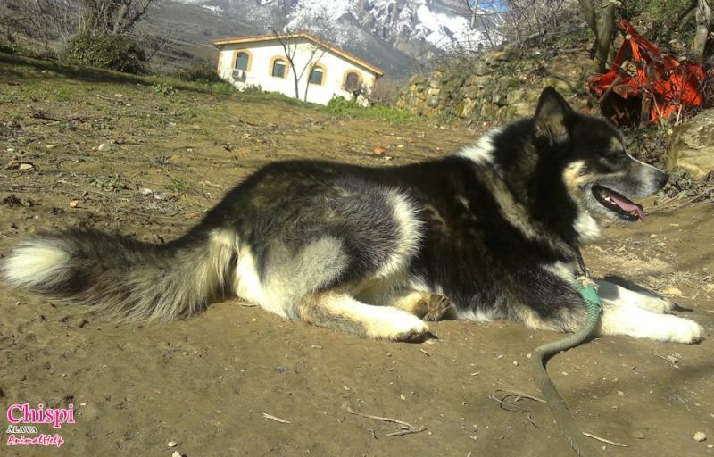 Chispi mâle malamute/husky de 8 ans a passé sa vie attaché (Alava, Espagne ) Chispi15