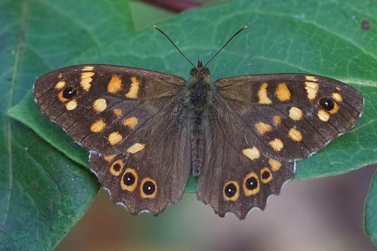 parage  aegeria  (nymphalidae satirinae)   Torrile Ed9f2110