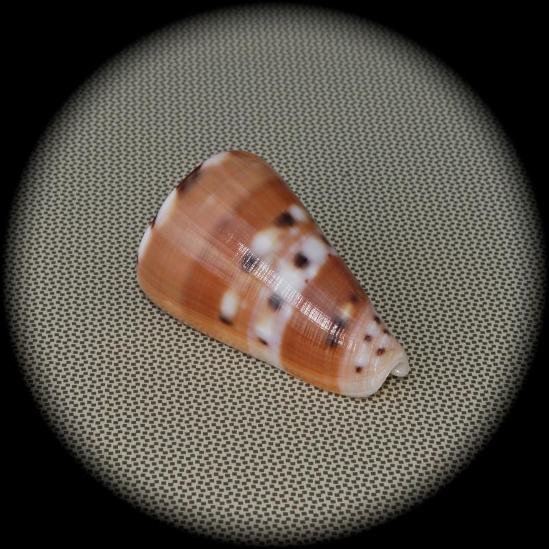 Conus (Pionoconus) barthelemyi  Bernardi, 1861 Dsc03018