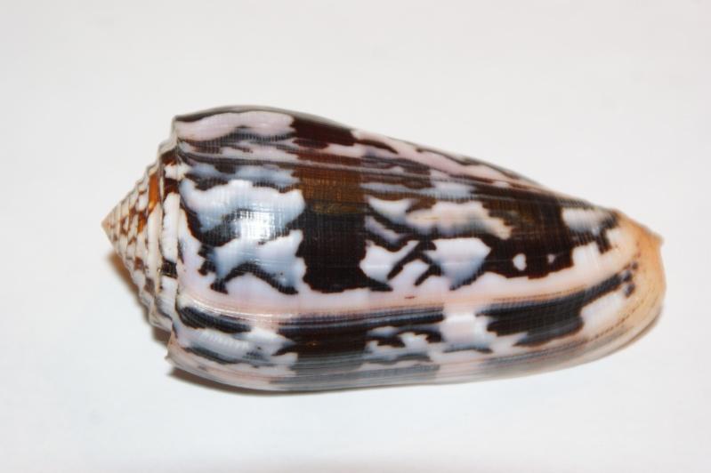 Conus (Pionoconus) striatus   (Linnaeus, 1758)  Dsc06110