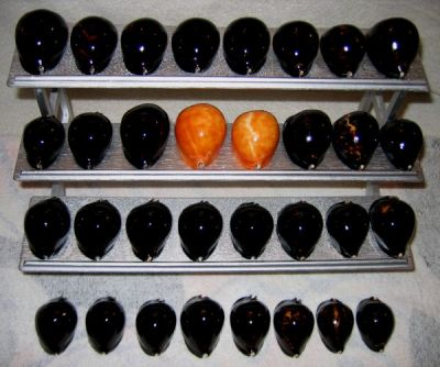 Zoila thersites - (Gaskoin, 1849) - Orange, très Rare Normal10