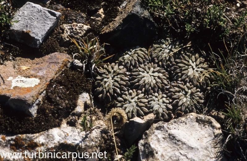 Pelecyphora aselliformis 20090332