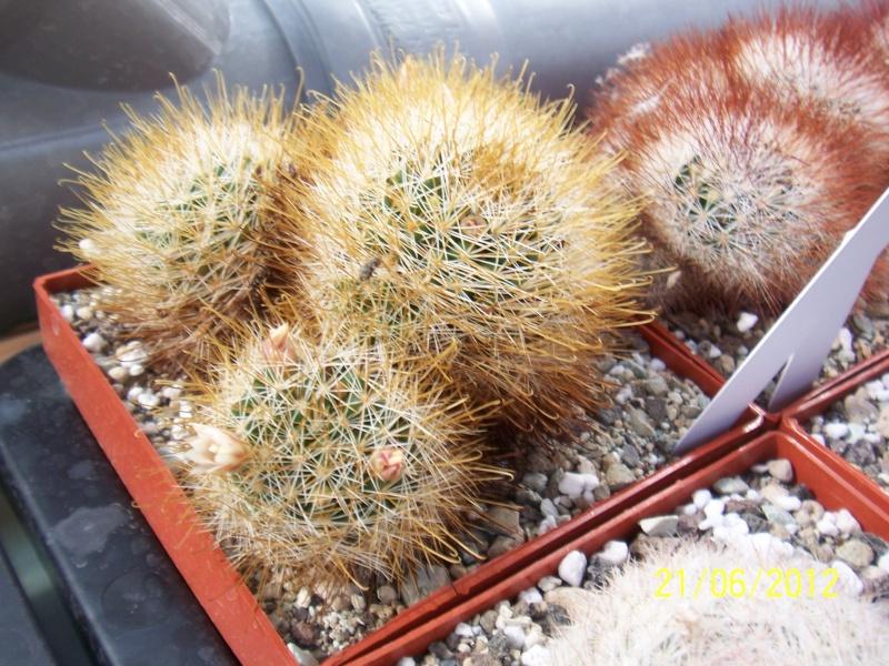 3 Mammillaria, are the names correct? Bild1483