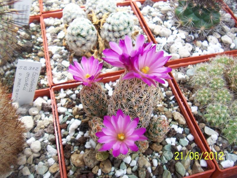 3 Mammillaria, are the names correct? Bild1484