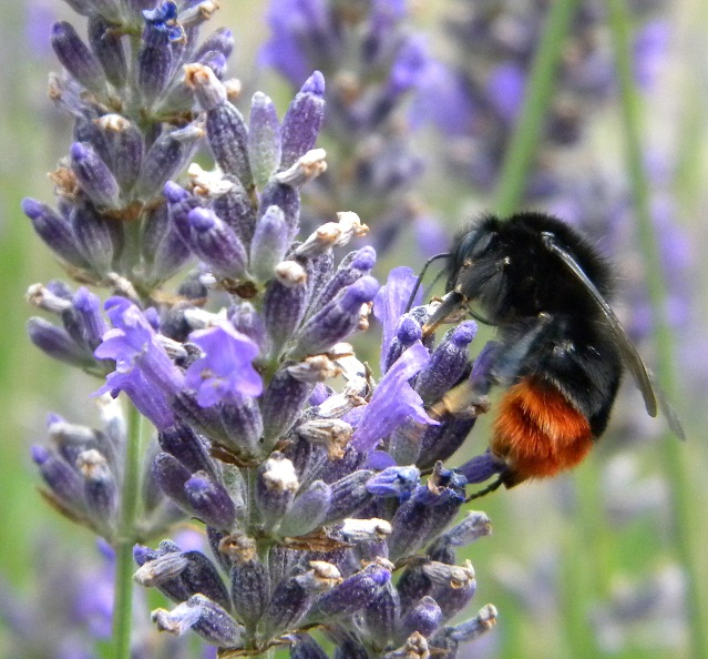 insects photo en macro Bourdo10