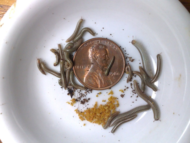 Baby Florida Ivory Millipedes 21102013