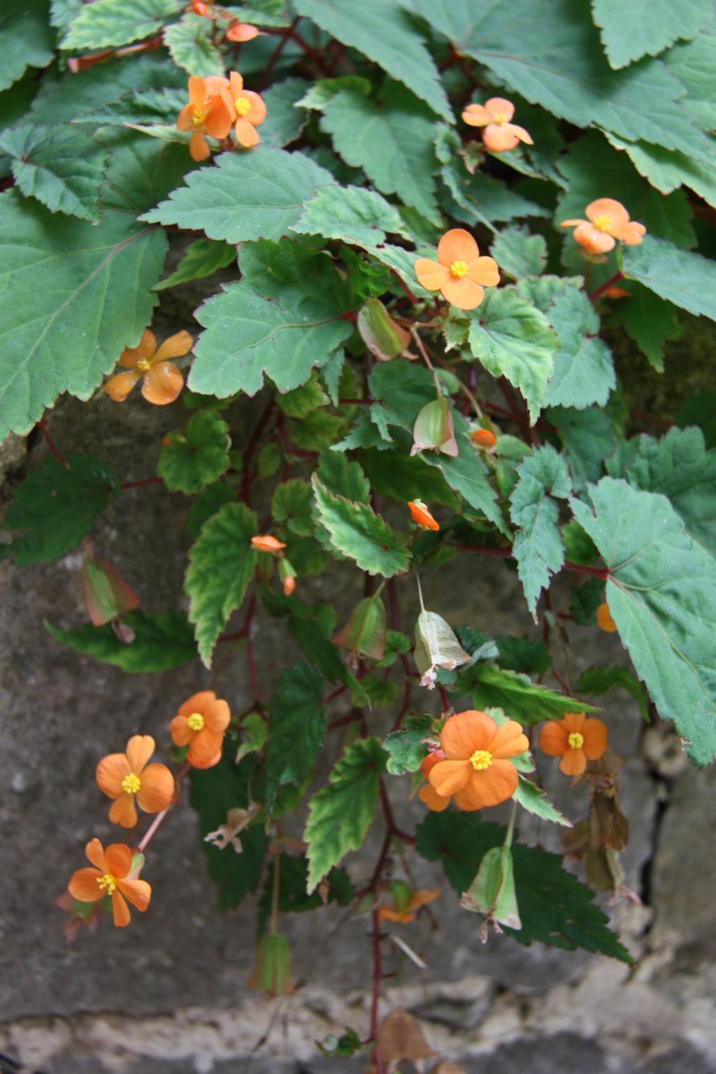 mais tu connais sans doute.../Begonia sutherlandii  Img_0510