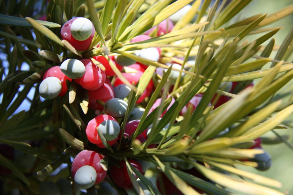 Je continue... si vous voulez/  Podocarpus macrophyllus Img_2110