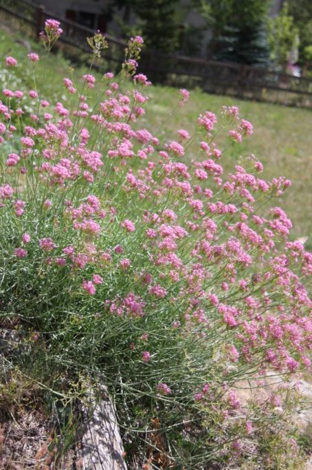 et celle-là ? // Centranthus angustifolius Img_7011
