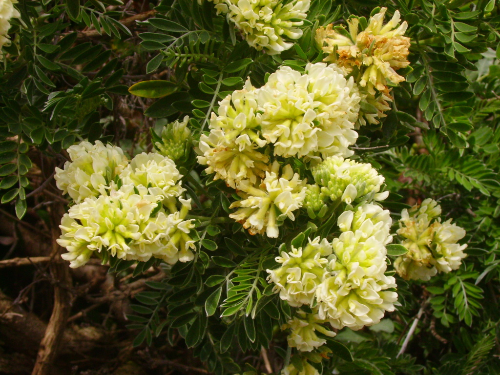 En pleine floraison en ce moment / Anthyllis barba-jovis Nice_r10