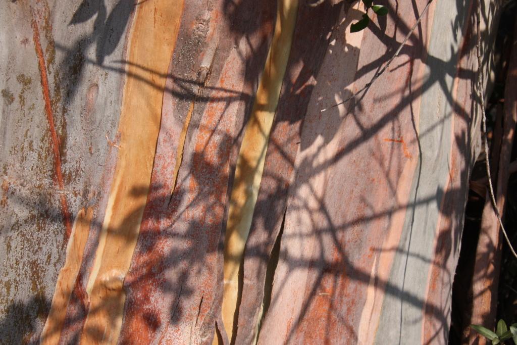 Un autre style de recherche pour changer encore.../Eucalyptus globulus Robert13